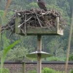 Osprey nest, at Haley Farm, RI